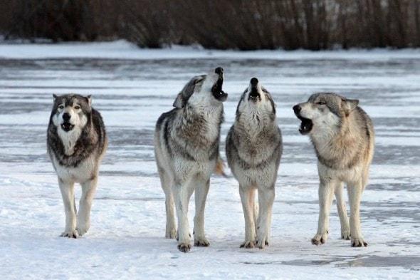 4.25.15 - wolfFEAT