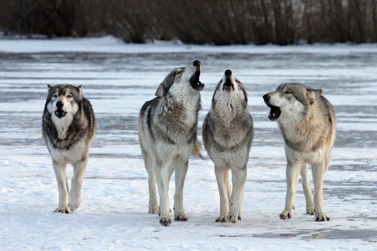 a study on grey wolves Proposed removal of gray wolves' endangered status a case study in the politicization of science by james william gibson – june 17, 2013 us fish and wildlife service relies on taxonomical shenanigans to appease wolf haters.