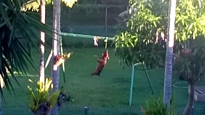 Dog Makes Himself a Swingset
