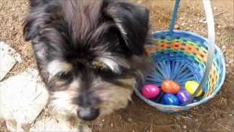 Koby Goes on an Easter Egg Hunt