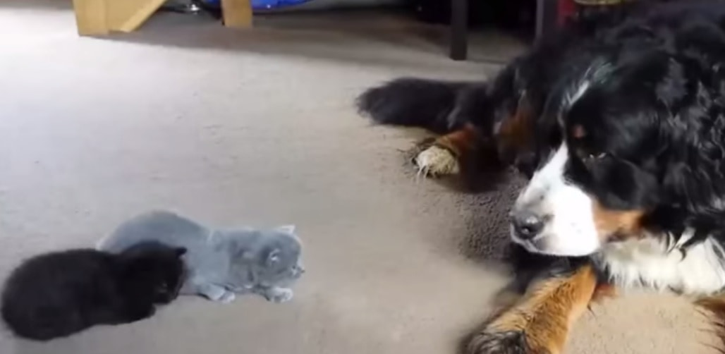 Dogs Meet Thier Kitten Siblings for the First Time