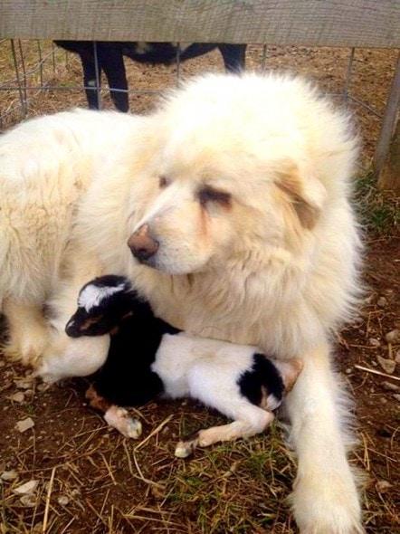 4.8.15 - Great Pyrenees Guards Newborn Kid Until Help Arrives1
