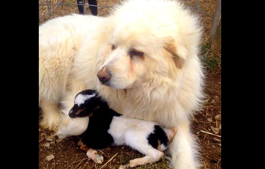 Great Pyrenees Guards Newborn Kid Until Help Arrives