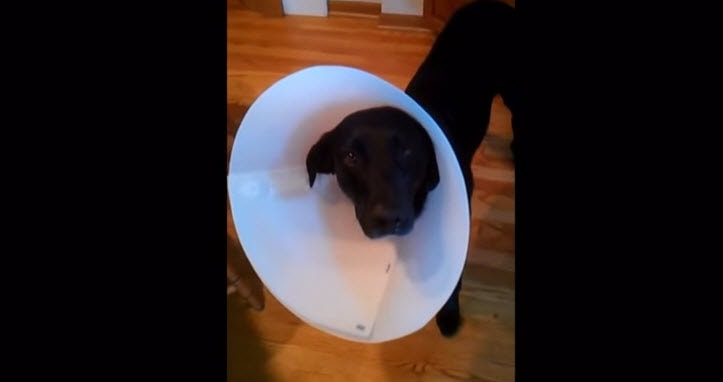 Dogs Hate the Cone