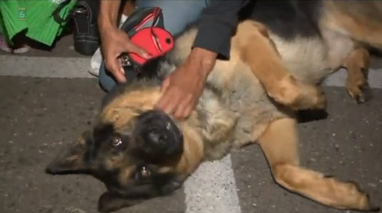 German Shepherd Reunited With Family After Three Years and 2,500 Miles Apart