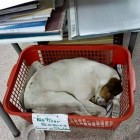 Shelton sleeping in a basket inside the library. Photo Credit: Zaira Kordi.