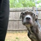 Emaciated Pit Bull Saved Thanks to Dog Walker