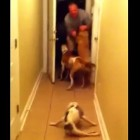 "Paralyzed Dog ""Runs"" to Reunite with Deployed Dad"