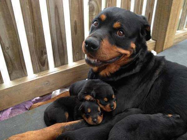 Mother Dog Protecting Puppies