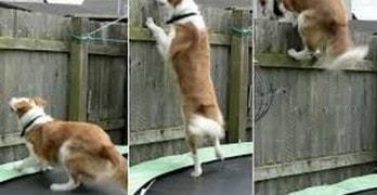 Dog Uses Backyard Trampoline to Escape