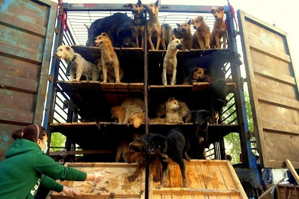 These dogs, intended to be slaughtered for meat, were rescued in 2011.