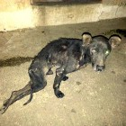 Severely Injured Dogs Rescued from Guatamala