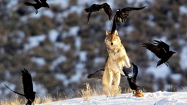 What These Wolves Did Will Blow Your Mind!