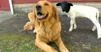Loving Puppy Adopts Lamb Whose Mother Didn't Want Her