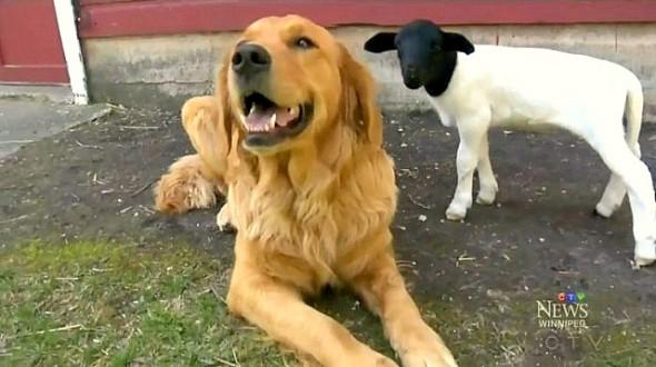 5.30.15 - Dog Adopts Lamb1