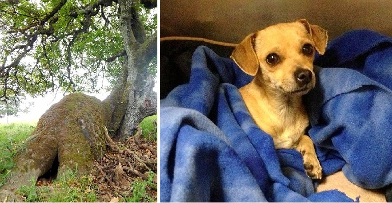 Pregnant Dog Found Living in a Tree Gets Rescued