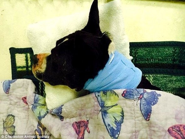 5.7.15 - Dog Impaled on Tree Branch for 24 Hours Miraculously Survives5