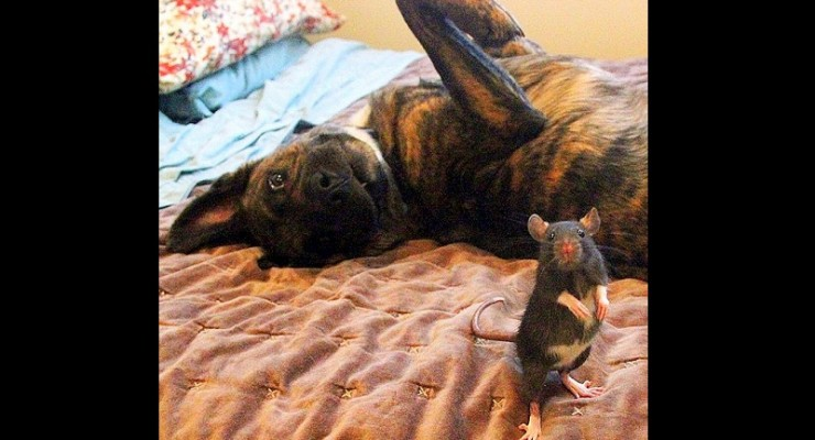 This Dog and Rat Are the Cutest BFFs You'll Ever See
