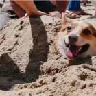 What do Corgis Do Over the Summer?