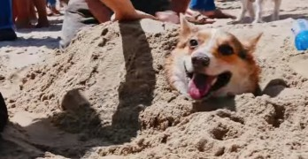 What do Corgis Do Over the Summer?