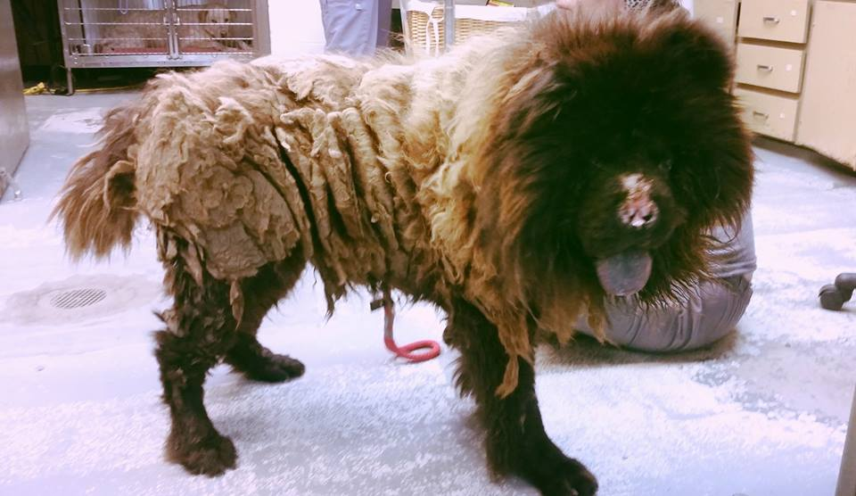 Rescuers Save Neglected Chow Chow with 5 lbs of Matted Fur