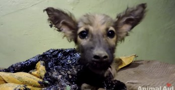 Puppy Covered in Tar Saved by Rescuers