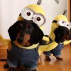 Minions Wiener Dog Edition