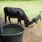Dog and Cow Are Best Friends