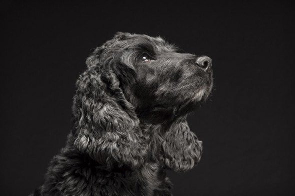 "In this April 2014 photo provided by Fred Levy, a springer spaniel named Aki poses in Levy's studio in Maynard, Mass. Levy, a pet photographer, first heard about ""Black Dog Syndrome"" in a 2013 conversation at a dog park. It's a disputed theory that black dogs are the last to get adopted at shelters, perhaps because of superstition or a perception that they're aggressive. The idea inspired Levy to take up a photo project on their behalf. (Fred Levy via AP)"