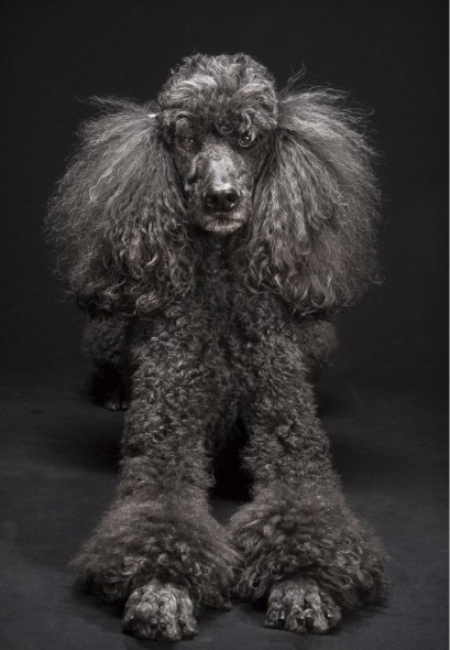 "In this March 2014 photo provided by Fred Levy, a standard poodle named Mercedes Ann poses in Levy's studio in Maynard, Mass. Levy, a pet photographer, first heard about ""Black Dog Syndrome"" in a 2013 conversation at a dog park. It's a disputed theory that black dogs are the last to get adopted at shelters, perhaps because of superstition or a perception that they're aggressive. The idea inspired Levy to take up a photo project on their behalf. (Fred Levy via AP)"