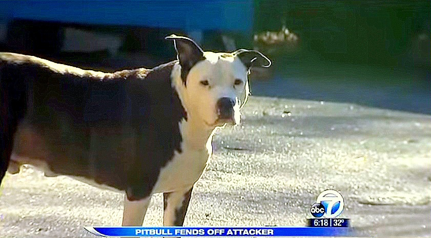 Sick, Senior Pit Bull Saves Elderly Woman from Attack