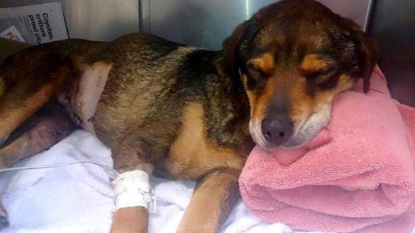 6.21.15 - Street Dog with Tumor3
