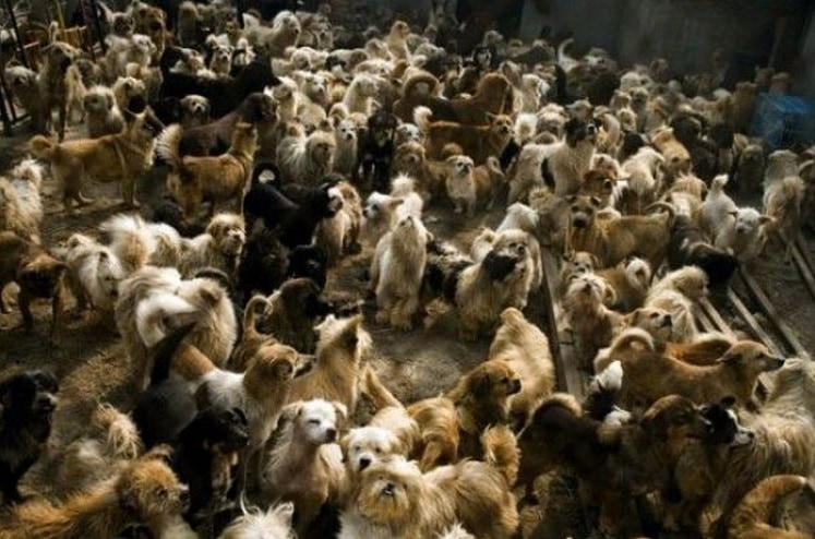 Woman Rescues 100 Dogs Away From Dog Meat Festival