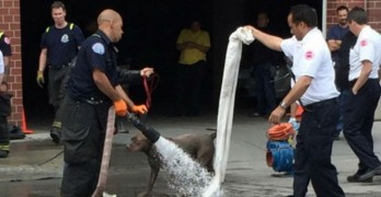 Pit Bull Rescued After Falling into Sewer