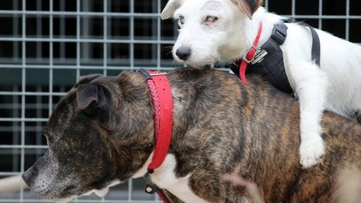 Home Needed for Blind Dog and His Seeing Eye Friend