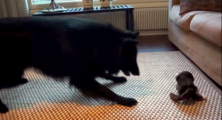Dog Goes Berserk for Laughing Monkey Toy