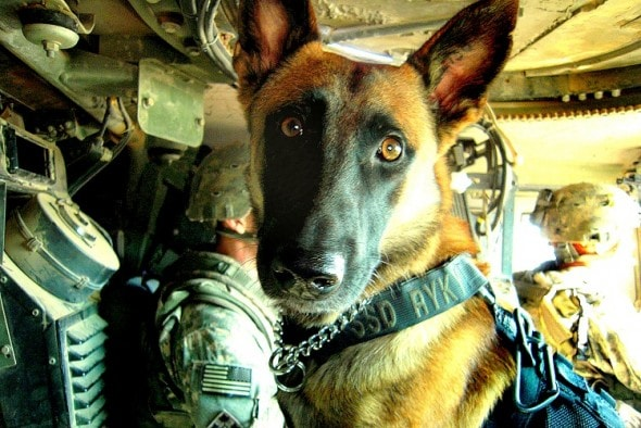 """Ryky and Ready to go.FORWARD OPERATING BASE FALCON, Iraq – Ryky, a three-year-old Belgian Malanois, is partnered with Sgt. James Harrington, a military policeman and dog handler from New Orleans, and is assigned to the 947th Military Police Detachment, part of the 3rd Infantry Regiment, """"The Old Guard,"""" stationed out of Fort Myer, Va., attached to the 1st Special Troops Battalion, 1st Brigade Combat Team, 4th Infantry Division, Multi-National Division – Baghdad. The duo conducts cache search operations and route clearance in the Rashid district of southern Baghdad.(U.S. Army photo courtesy of Sgt. James Harrington, 1st BCT, 4th Inf. Div., MND-B)"""