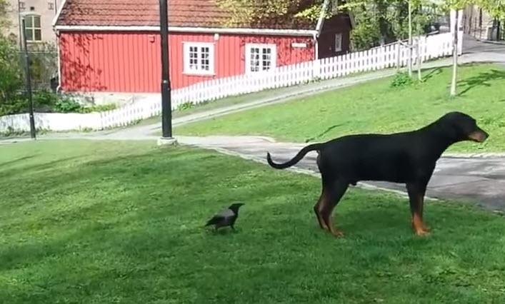 Pesky Crow Picks On Dog