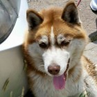Neighbors Rescue Husky Tied and Dragged Behind Speeding Car
