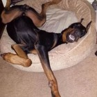 Doberman Pinschers Know How to Get Comfortable