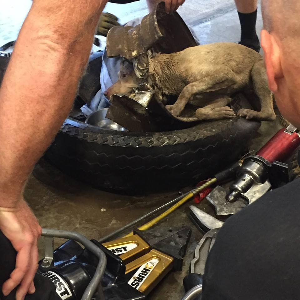 Indiana Firefighters Free Dog from Tire Rim