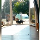 Adorable Little Dog Doesn't Know the Door is Open