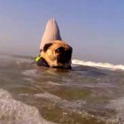 Jaws: Pug Edition