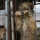 Dogs Rescued From Dog Meat Farm in South Korea