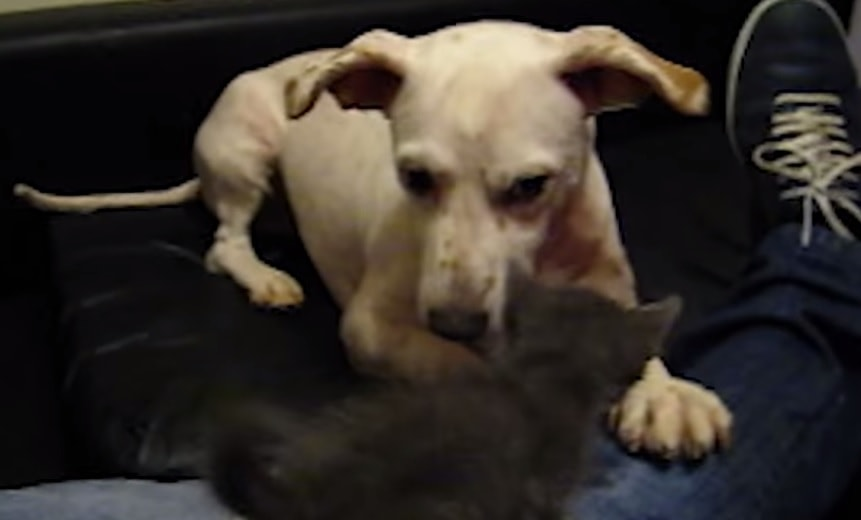 Dog Gets Booped by Baby Kitten on the Nose