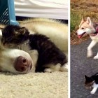 Rosie, the Kitten Who Thinks She's a Husky
