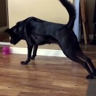 "Black Lab Plays ""The Floor Is Lava"""