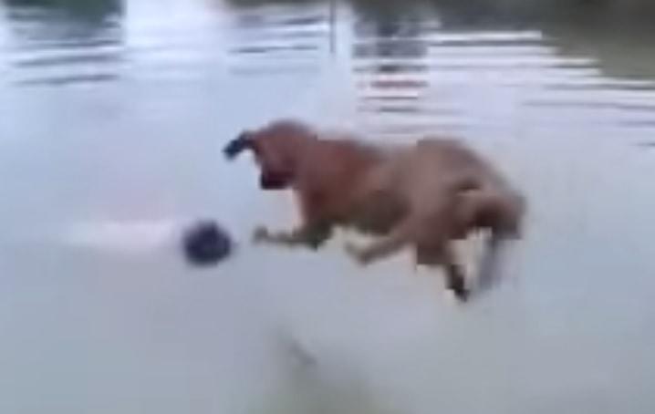 """Dog """"Saves"""" Drowning Human"""