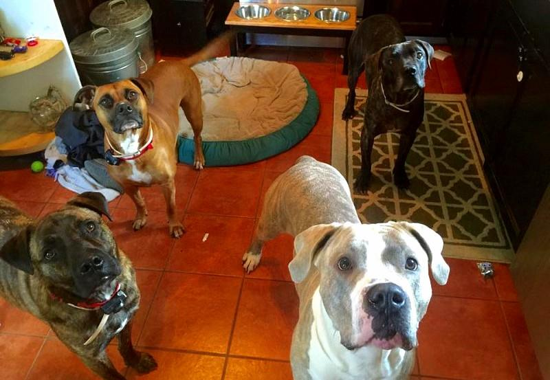 4 Hero Dogs Stop a Bear Attacking Little Girl in Backyard