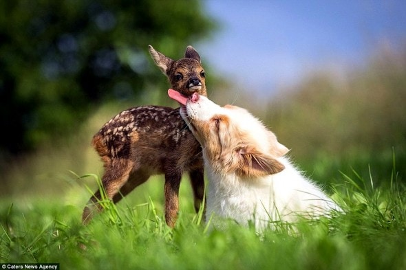 7.5.15 - Puppy Adopts Fawn1